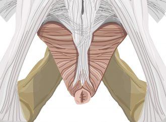 Obere Muskelschicht Beckenboden
