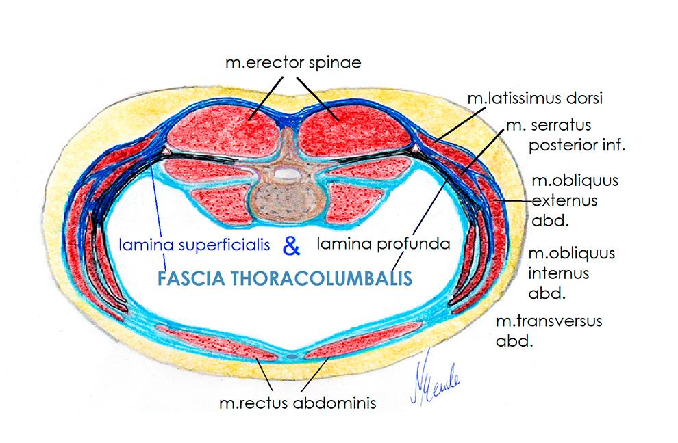 Abb. 2: Schema Thoracolumbalfaszie, die Rektusscheide bleibt undifferenziert. Grafiken: Nici Mende