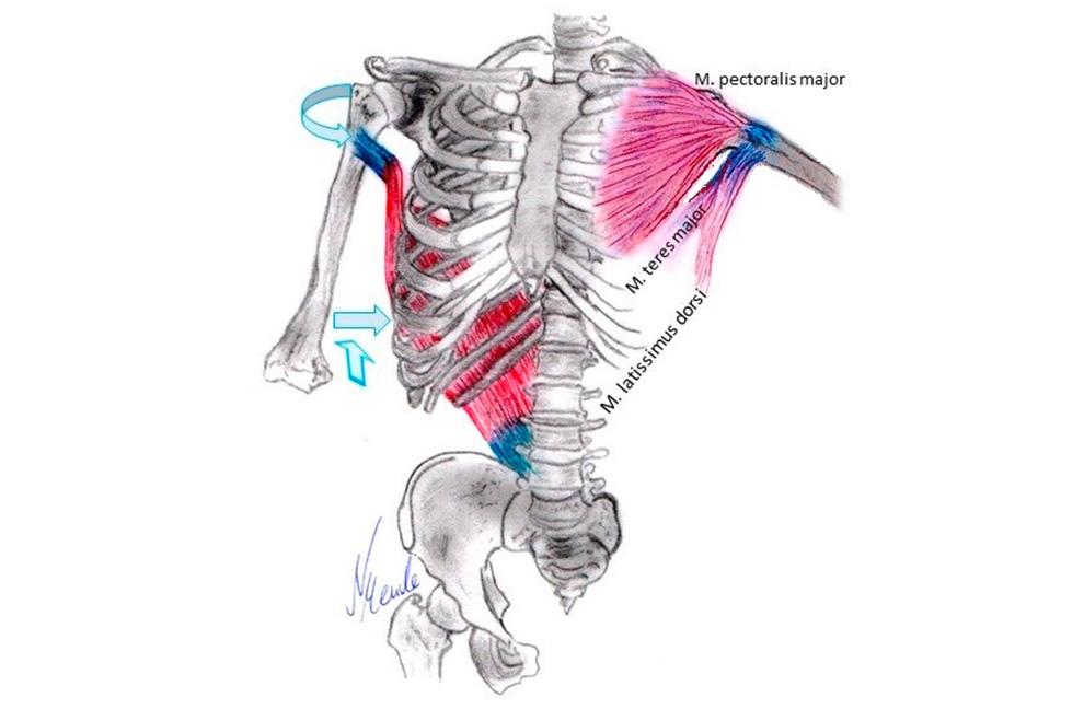 Der große Rückenmuskel und 4 Übungen dazu | Trainer
